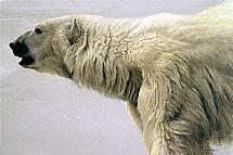 robertbateman-polar.jpg